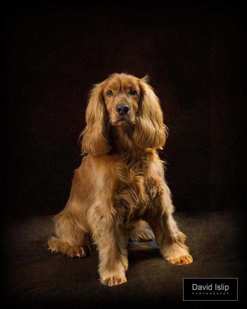 Spaniel Essex dog portraits